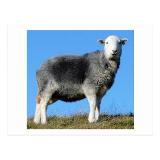 Herdwick Sheep Postcards