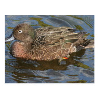 Here's A Closeup Of The Auckland Islands Teal Postcard