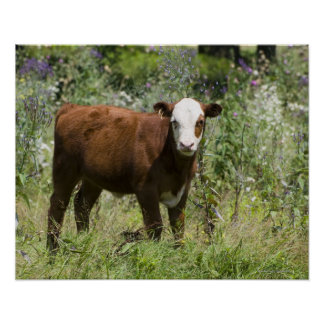 Hereford calf (Bos taurus) in prairie pasture Print