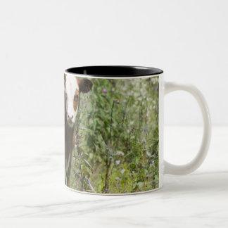 Hereford calf (Bos taurus) in prairie pasture Two-Tone Coffee Mug