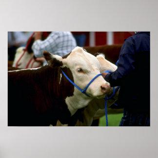 Hereford Cattle Print