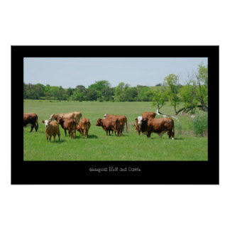Hereford Cattle Poster Print