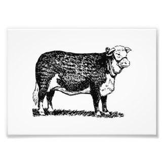 Hereford Cow Photograph