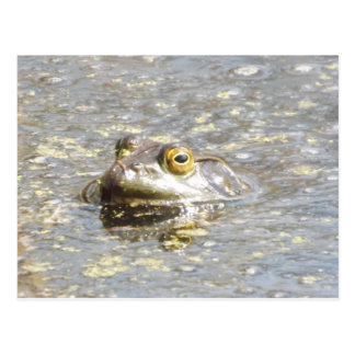 Here's looking at you bullfrog postcard