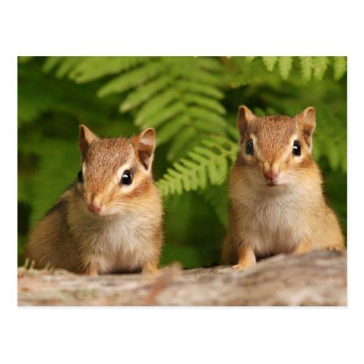 Hermanos adorables del Chipmunk del bebé Tarjeta Postal