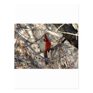 Hermaphadite Cardinal Bird Postcard