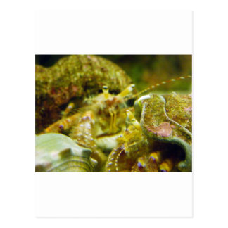 Hermit Crab Couple Postcard
