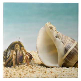 Hermit crab looking at larger shell large square tile