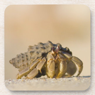 Hermit Crab on white sand beach of Isla Carmen, Coaster