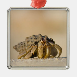 Hermit Crab on white sand beach of Isla Carmen, Ornament