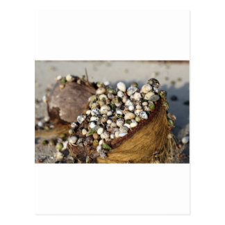 Hermit crabs in coconut shell postcard
