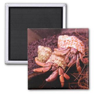 Hermit Crabs Magnet