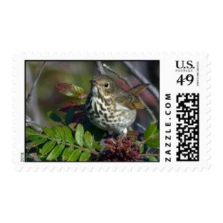 Hermit Thrush Postage Stamp