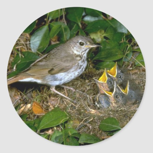 Hermit Thrush with young Classic Round Sticker
