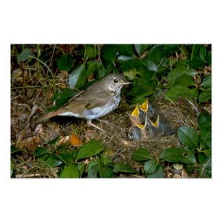 Hermit Thrush with young Poster