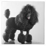 Hermoso, arreglado, negro, cuerpo completo del can azulejo cuadrado grande