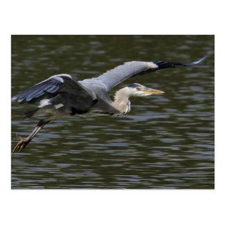Heron Fly Past Postcard