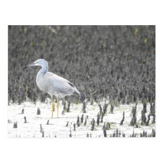 Heron in Mangroves Postcard