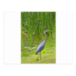 Heron Walk Postcard
