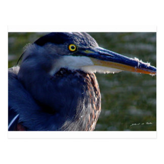 Heron's Eye Postcard