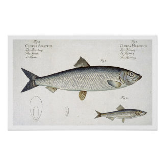 Herring (Clupea Harengus) (Fig. 1) and Sprat (Clup Posters