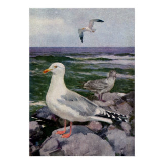 Herring Gulls on Rocky Shoreline Poster