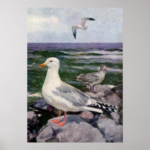 Herring Gulls on Rocky Shoreline Poster
