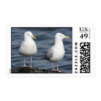 Herring Gulls Photograph Stamp