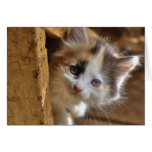 Heterochromia Calico Kitten Cards