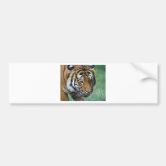 Hi-Res Malay Tiger Close-up Bumper Sticker