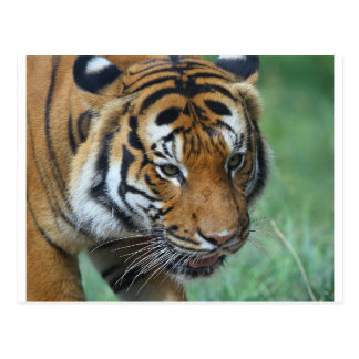 Hi-Res Malay Tiger Close-up Postcard