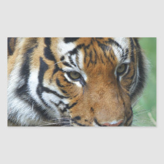 Hi-Res Malay Tiger Close-up Rectangular Sticker