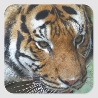 Hi-Res Malay Tiger Close-up Square Sticker