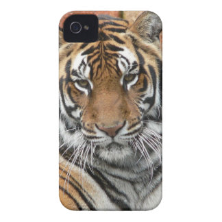 Hi-Res Tigres in Contemplation iPhone 4 Cover