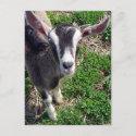 Hi There Goat postcard
