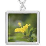 Hibisco amarillo grímpola