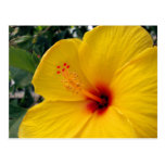 Hibisco amarillo grande postal