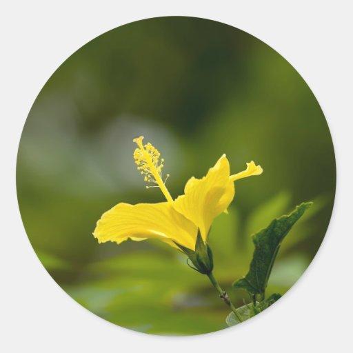 Hibisco amarillo pegatina redonda