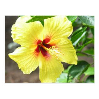 Hibisco amarillo tarjeta postal