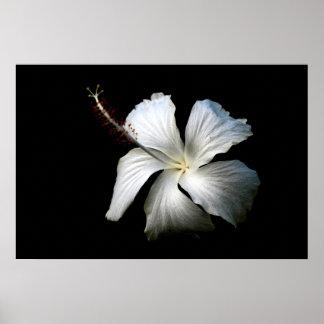 Hibisco blanco contra black.jpg posters