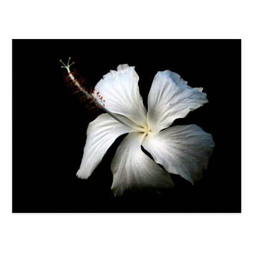 Hibisco blanco contra black.jpg postal
