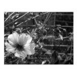 Hibisco blanco y negro postal