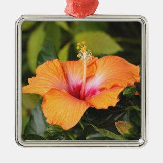 Hibisco coralino adorno