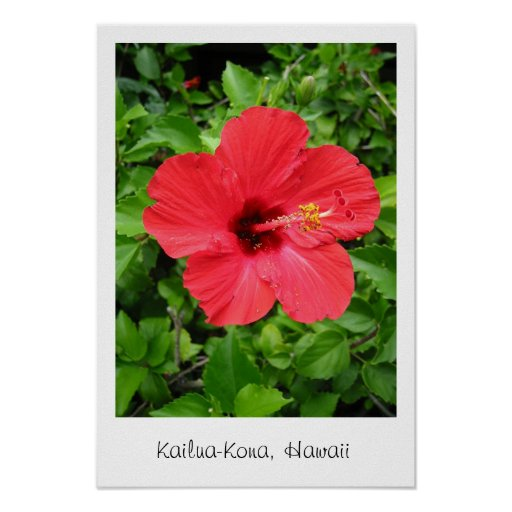 Hibisco de Hawaii Póster