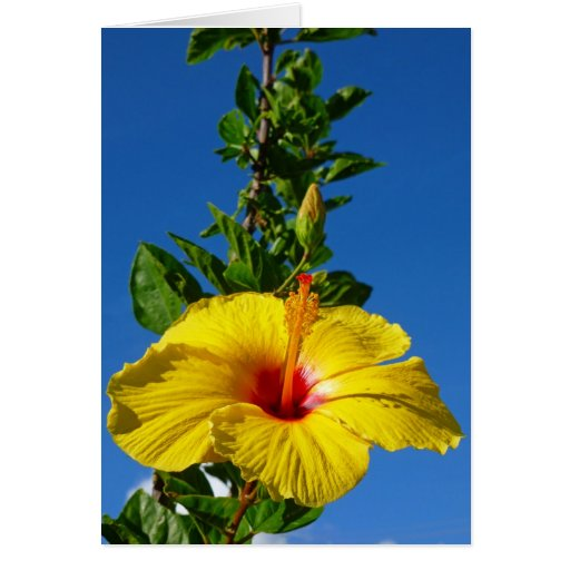 Hibisco hawaiano tarjeton