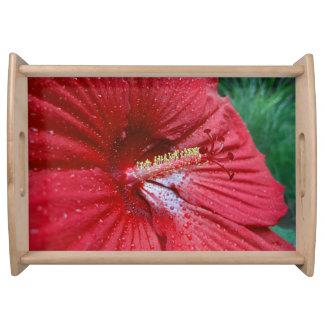 Hibisco rojo con las gotas de agua bandeja