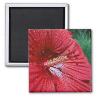 Hibisco rojo con las gotas de agua imán cuadrado