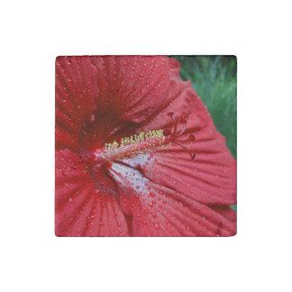 Hibisco rojo con las gotas de agua imán de piedra