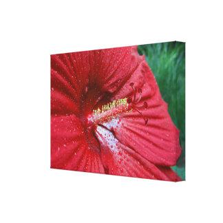 Hibisco rojo con las gotas de agua lienzo envuelto para galerias