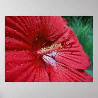 Hibisco rojo con las gotas de agua póster